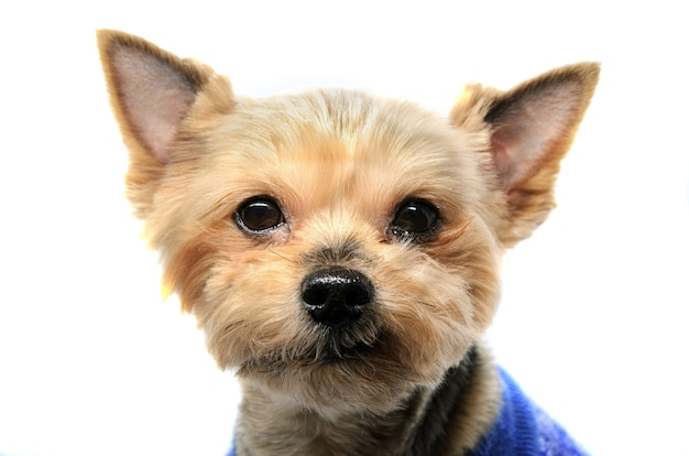 Close-up portrait of older yorkshire terrier on white