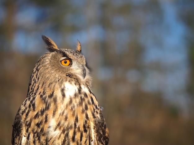 Close-up portrait of an owl head against a blue sky Premium Photo