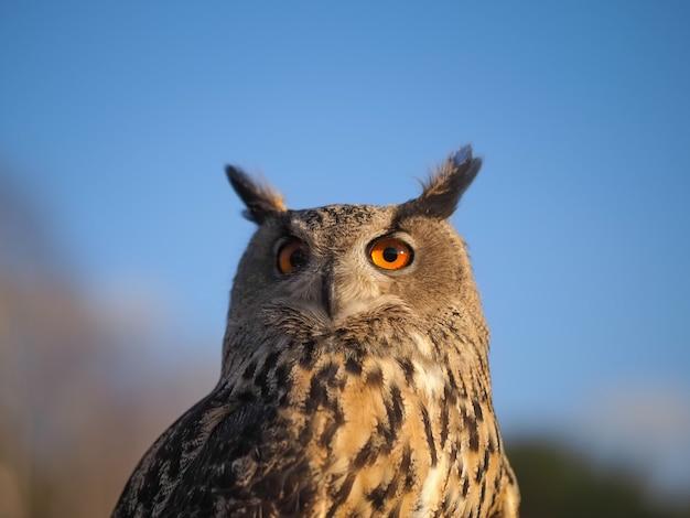 Close-up portrait of an owl head against a blue sky.