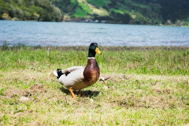 Close up portrait of a pair of mallard ducks (anas platyrhynchos)