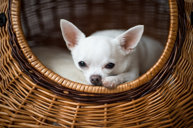 Close-up portrait of sad chihuahua puppy looking at camera from its dog house
