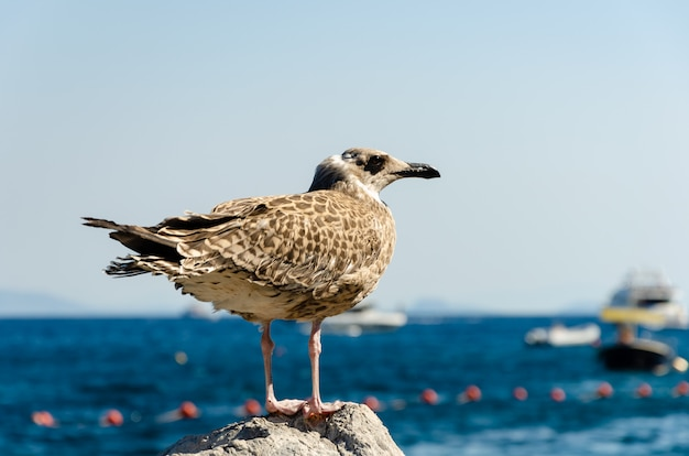 Close up portrait of a sea gull standing on the stone in italy on capri island.