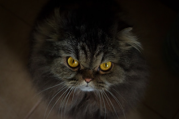 Close up portrait of serious angry gray furry scotish cat with orange eyes looking in camera