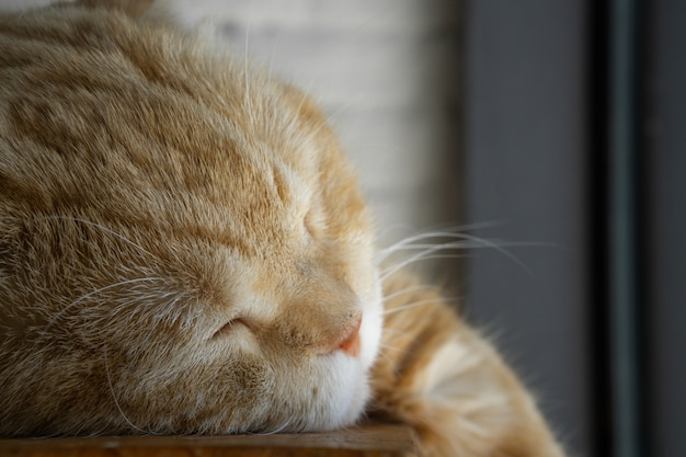 Close up portrait shot of beautiful brown tabby cat sleeping