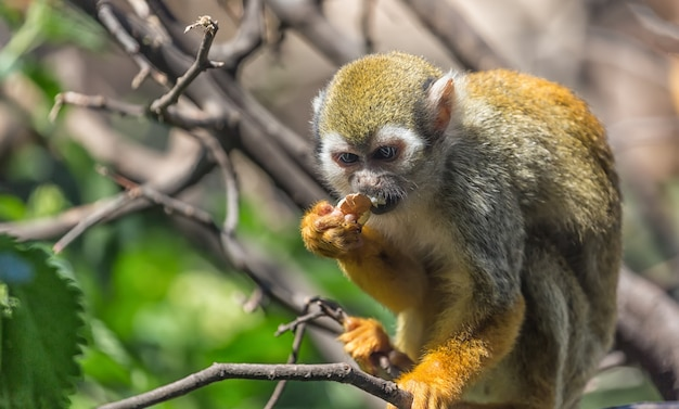 Close up portrait of squirrel monkey saimiri sciureus sitting and eating on a tree branch