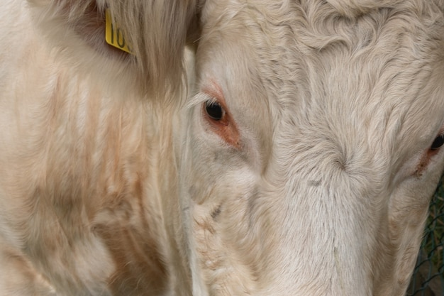 Close up portrait of a sweet white cow looking into the camera