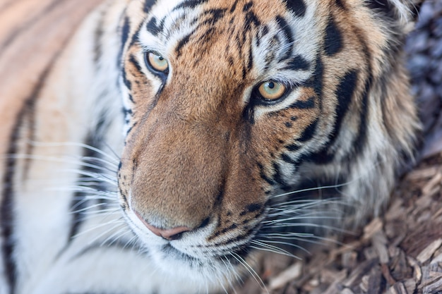 The close-up portrait  of  a tiger head