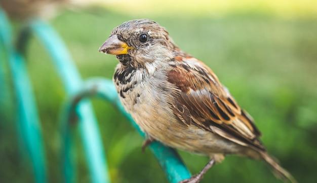 Крупным планом портрет воробей птицы на улице. дикая природа на открытом воздухе концепция фон фото