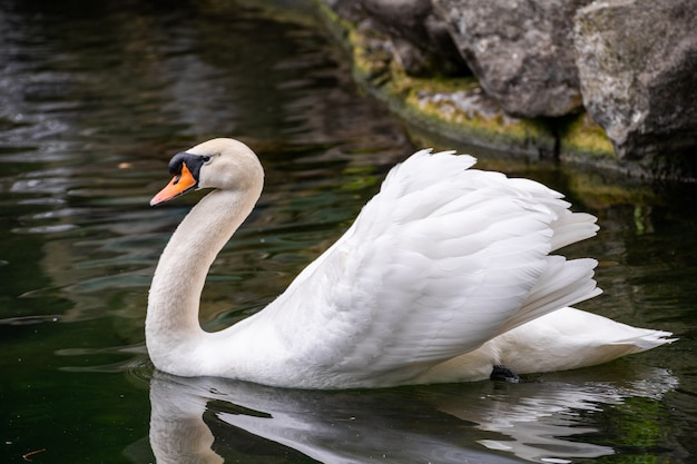 Close-up portrait of a white swan on the water