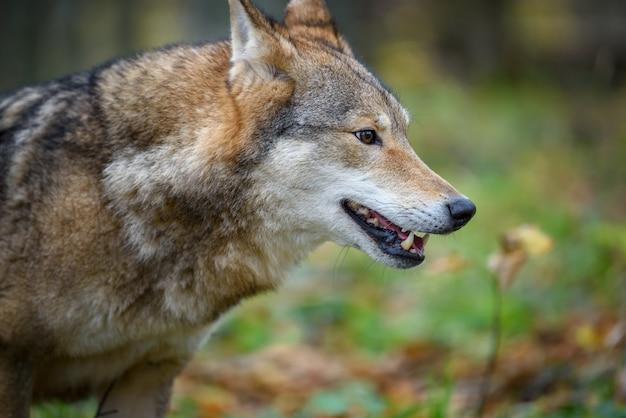 가 숲 배경에서 초상화 늑대를 닫습니다