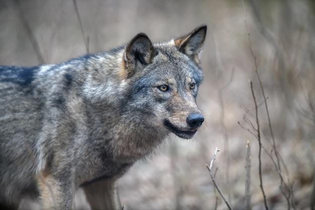 겨울 숲 배경에서 초상화 늑대를 닫습니다