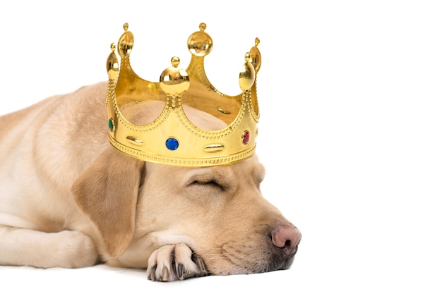 Close-up portrait of a yellow labrador dog in a golden crown