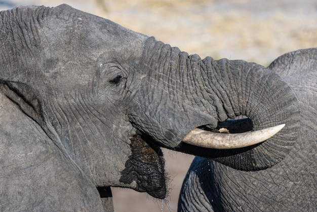 Close up and portrait of a young african elephant drinking from waterhole. wildlife safari in the chobe national park, travel destination in botswana, africa.