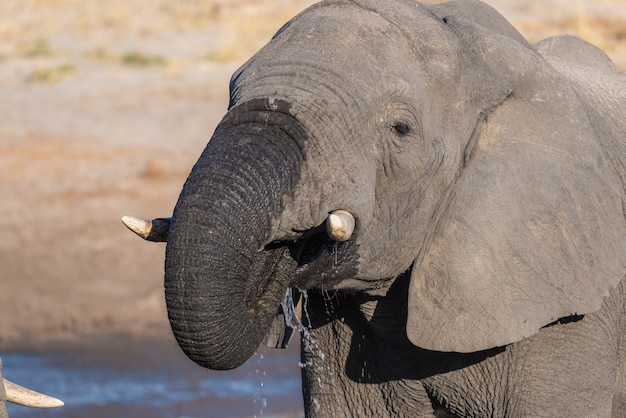 Close up and portrait of a young african elephant drinking from waterhole.