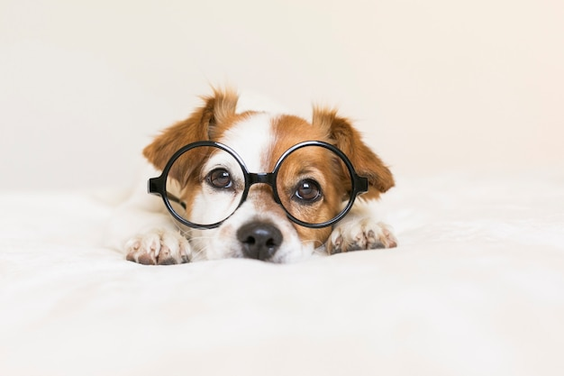 Close up portrait of a young cute dog wearing glasses. sitting on bed. pets indoors.