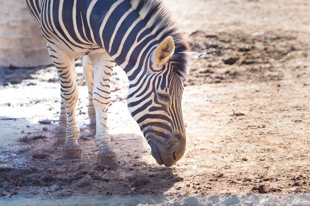 Close-up portrait of  zebra looking at camera