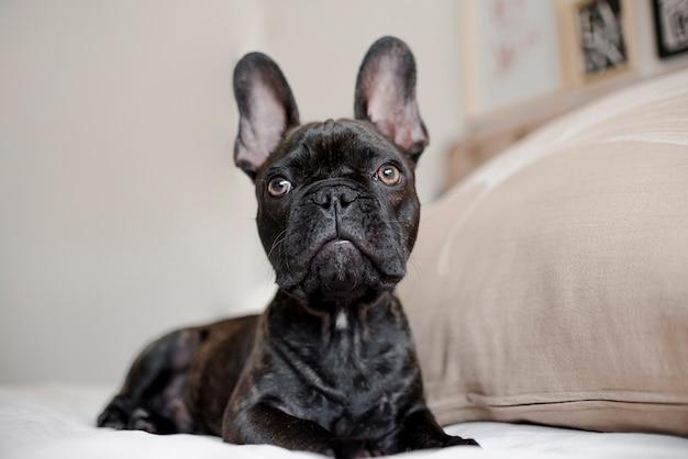 Close-up pretty little french bulldog