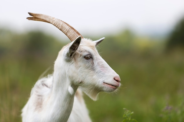 Close-up profile portrait of nice white hairy bearded goats with long horns
