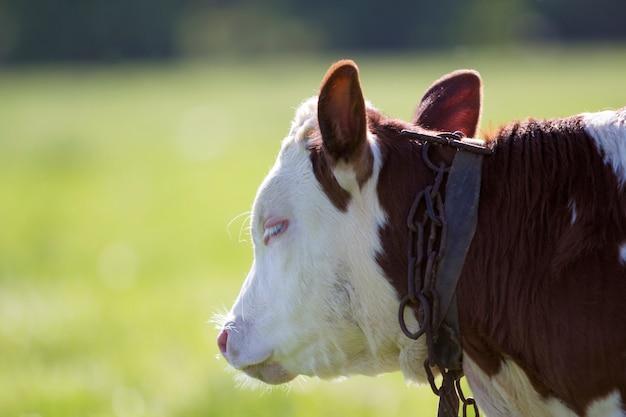 背景のボケ味の黄色の背景に首にチェーン付きの白と茶色の子牛の横顔のクローズアップの肖像画。動物保護、畜産、繁殖、牛乳、肉の生産コンセプト。