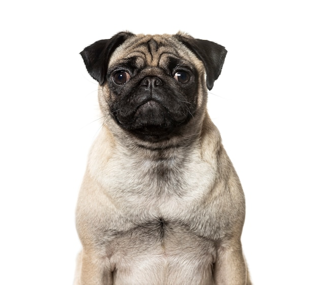 Close-up of a pug dog in front of a white background
