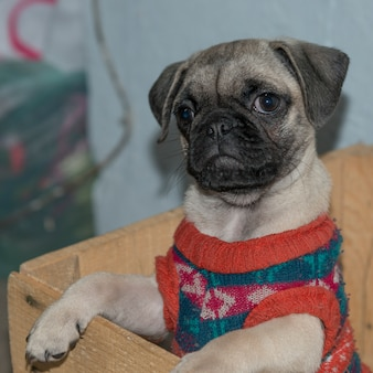 Close-up of pug dog wearing sweater, san miguel de allende, guanajuato, mexico