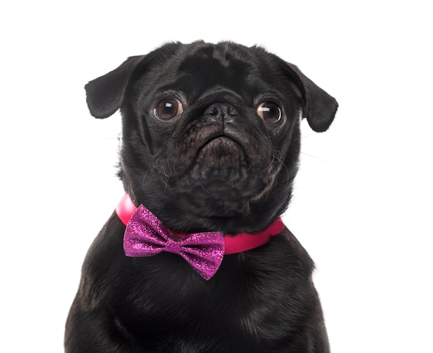 Close-up of an pug in front of white wall