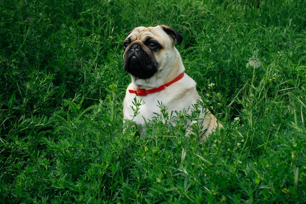 Close-up of pug on the green grass in the garden.