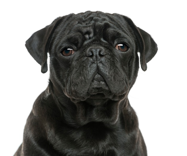 Close-up of a pug isolated on white