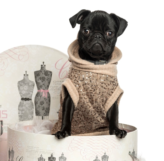 Close-up of a pug puppy in a clothes box isolated on white