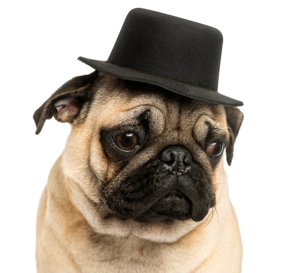 Close-up of a pug puppy wearing a top hat isolated on white
