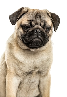 Close-up of a pug sitting, isolated on white