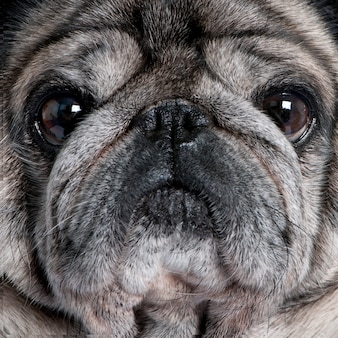 Close-up on a pug with 8 years. dog portrait isolated
