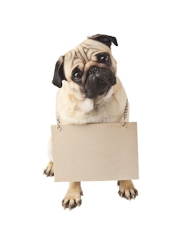 Close up of pug with a sign