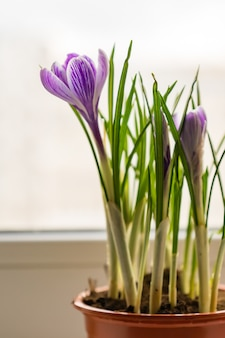 Close up of  purple crocus in plastic pot on window sill. spring flowers, domestic gardening
