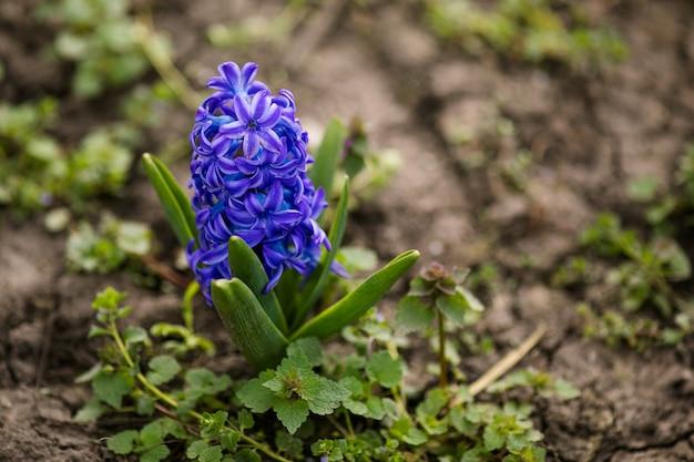 Крупный план фиолетовые цветы в зеленой весенней траве