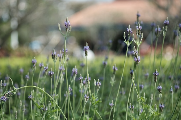Close up purple lavender during its blossom in garden with natural sunlight.