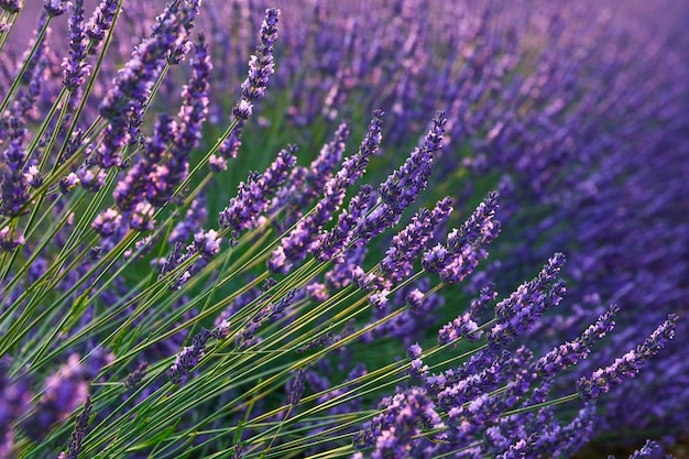 紫色のラベンダーの花をクローズアップ