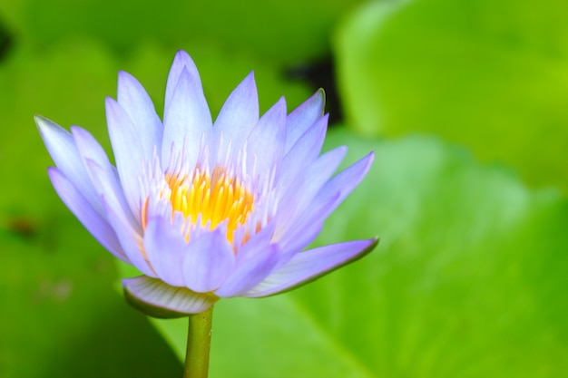 Close-up purple lotus have yellow pollen in pond on green lotus leaves background