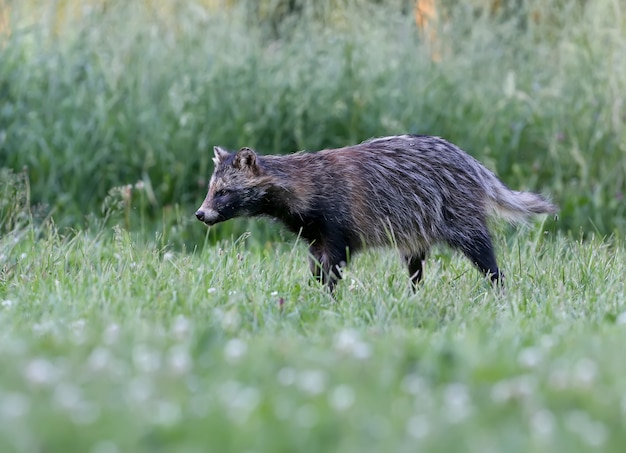 Close-up of the raccoon dog (nyctereutes procenoides) are walking on the ground in search of food