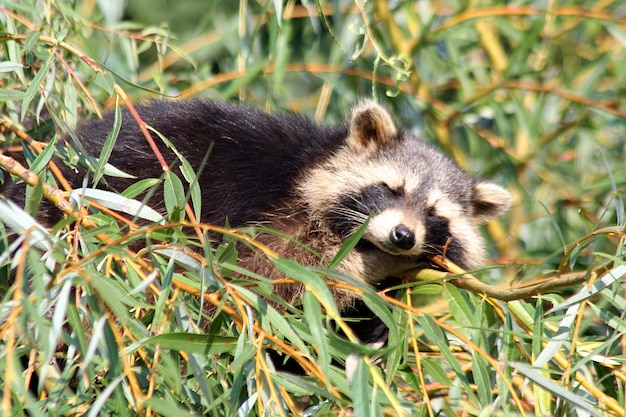 Close up of a racoon slepping in branches