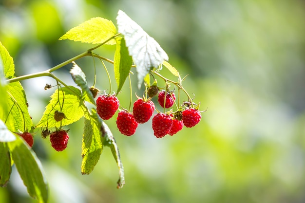 Close-up of raspberries with green leaves.