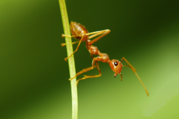 Close up red ant focus head on stick leaf