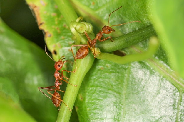 Close up red ant on fresh leaf in nature