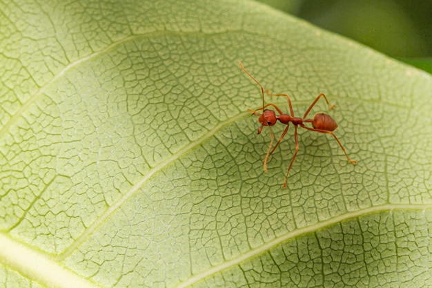 Close up red ant on green leaf in nature at thailand
