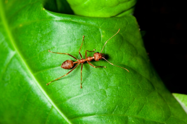 Close up red ant on green leaf in nature