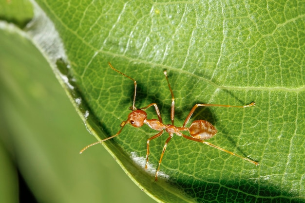 Close up of red ant on green leaf