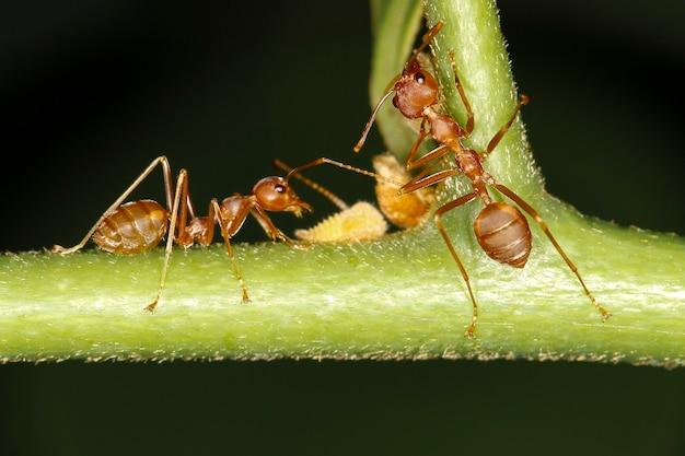 Крупным планом красный муравей остается на свежем дереве. красный муравей - животное-жук рабочей группы