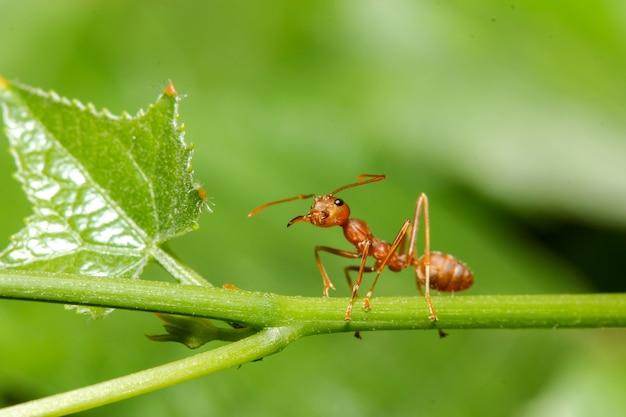 自然の中で緑の葉に赤アリを閉じる