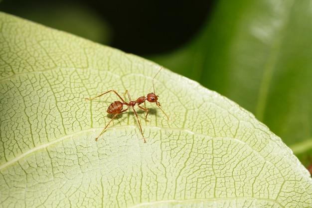 Закройте вверх по красному муравью на зеленых лист в природе на таиланде