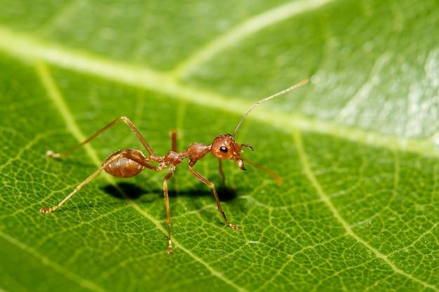 タイで自然の緑の葉に赤アリを閉じる